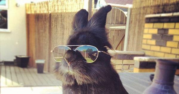 coelho com oculos